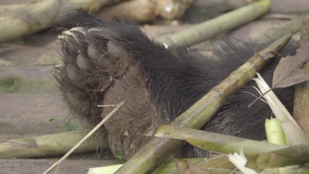 Panda tlapa poblíž bambus slupky
