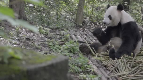Panda sitting in the woods gnawing on bamboo