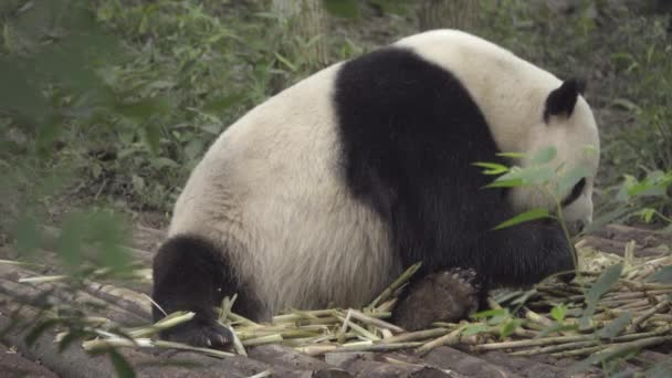 Large Panda sits eating bamboo