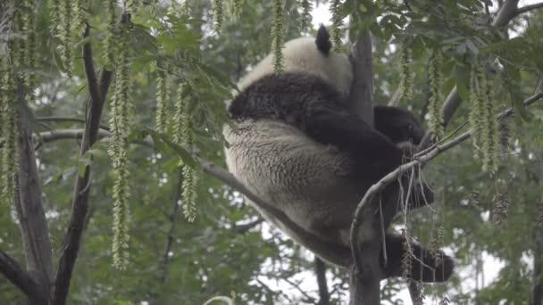 Velká Panda mačkat v strom spí