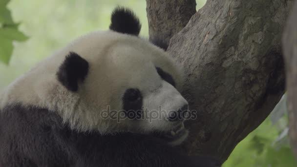 Wild Panda sleeps in a tree