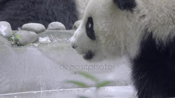 Hot young Panda sits panting