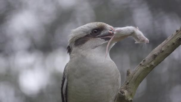 Perched Kookuburra holds mouse in its beak