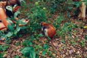 Fotografie Woman tourist takes a picture of monkey red colobus in natural environment
