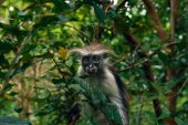 Photo Portrait of monkey red colobus in natural environment