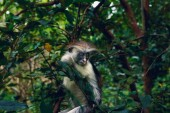 Portrait of monkey red colobus in dense tropical forest