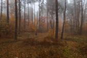 nebliger Herbst bunter Laubwald. Dichter Wald am frühen Morgen