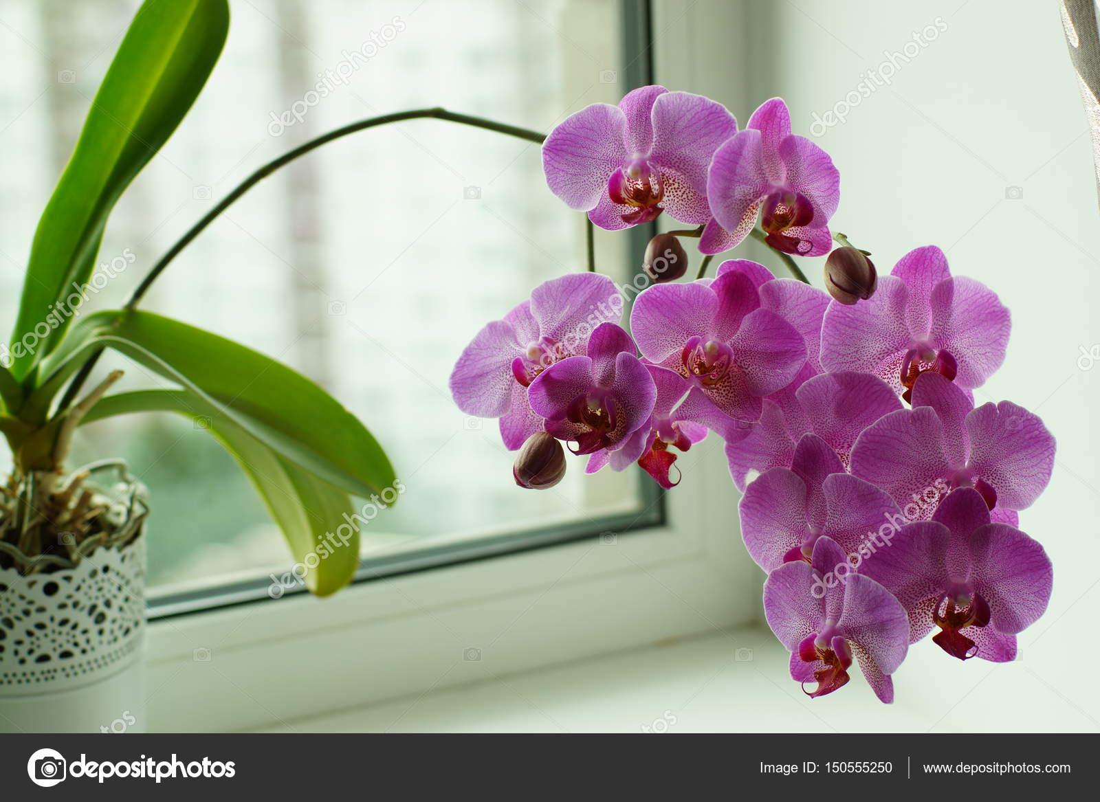 Orchidea lilla sulla finestra molti fiori sullo stelo pianta da vaso foto stock morele - Fiori da finestra ...
