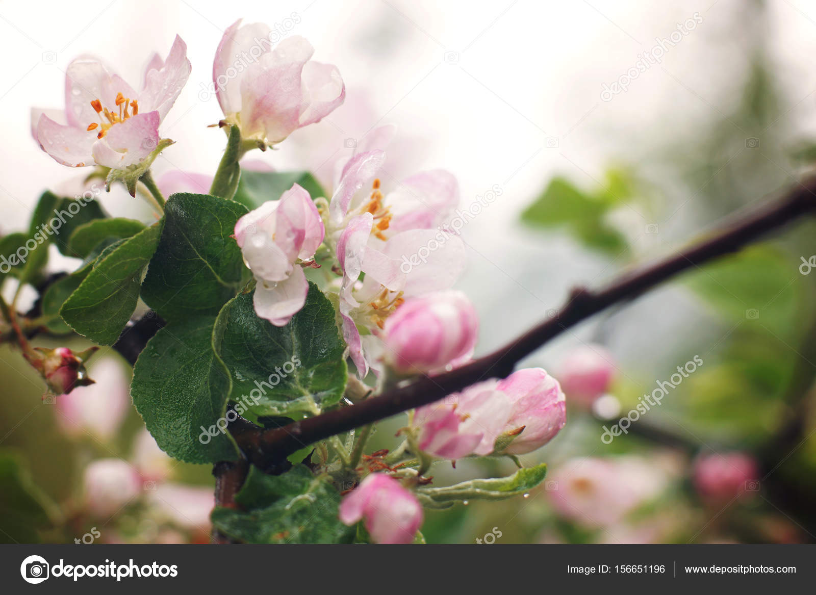 Blossoming Apple Tree After The Rain Pink Flowers And Leaves Are