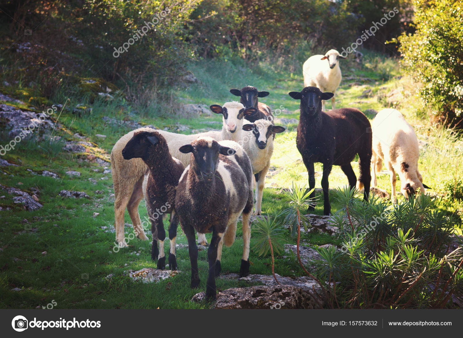 Un gruppo di pecore e nero andando a una riunione lungo il percorso che  esamina la 6201ee02cd14