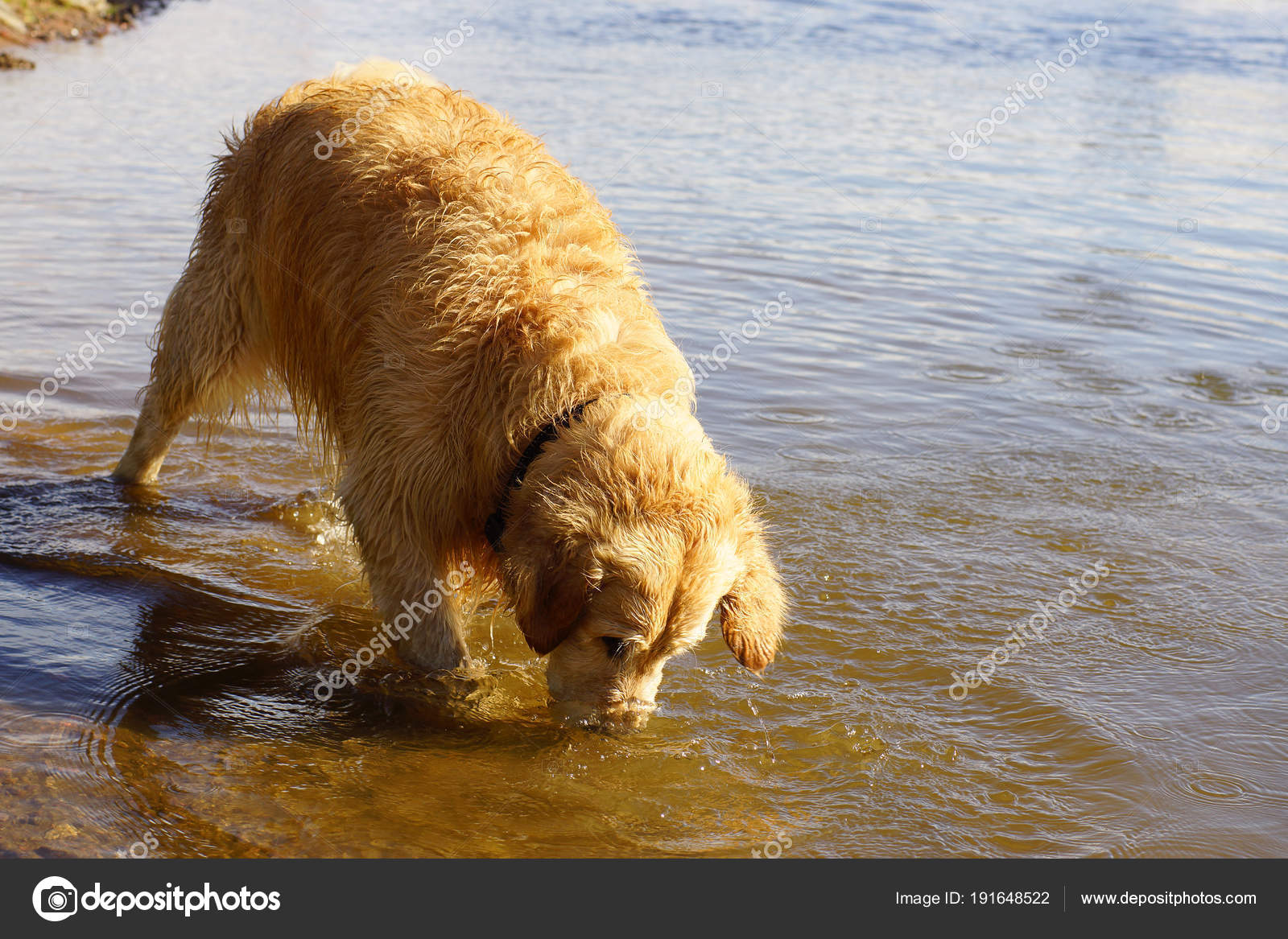 Dog Breed Golden Retriever Stuffed His Nose Into The Lake Water