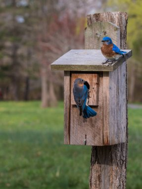 Two bluebirds outside their birdhouse