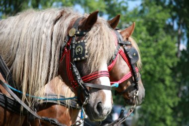 Farm horses fitted with beautiful handmade harness against green