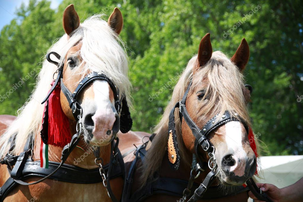 Yoiung stallions ready for farm worki rural scene