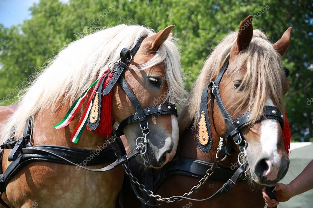 Close up of draft heavy horses in beautiful harness