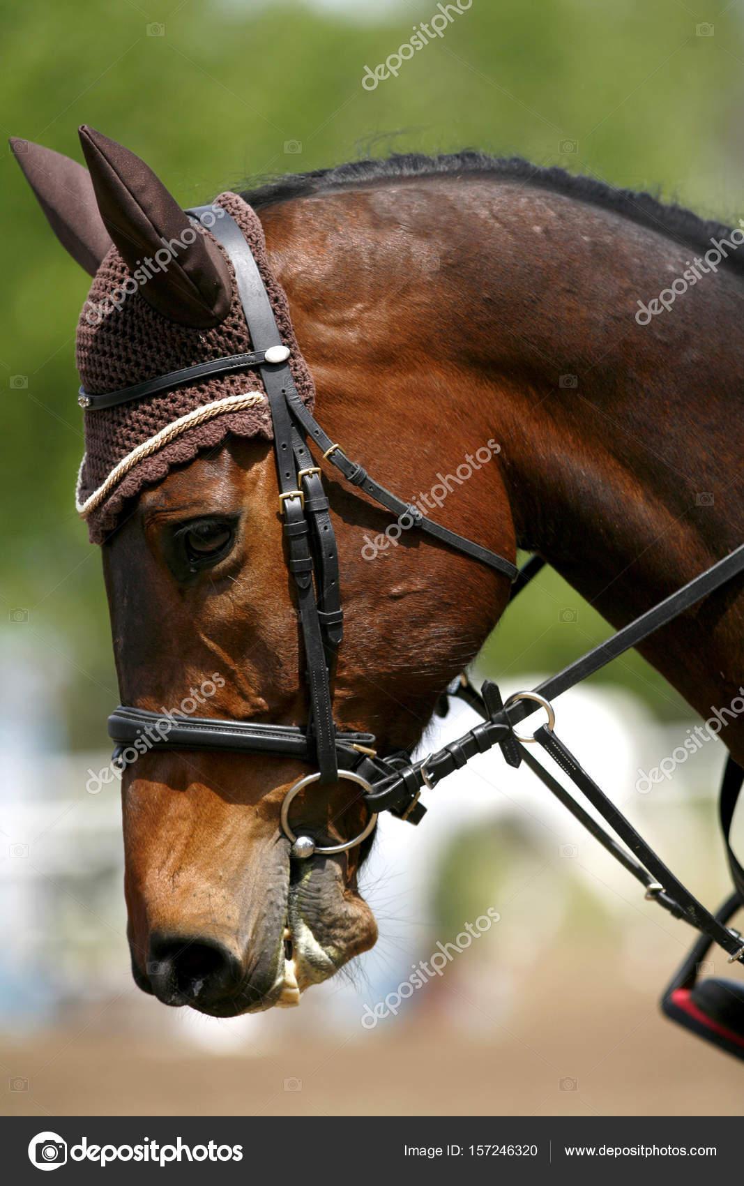 Side View Portrait Closeup Of A Beautiful Show Jumper Horse S Head Stock Photo C Accept001 157246320