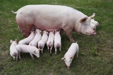Photo from above a sow and her newborn piglets
