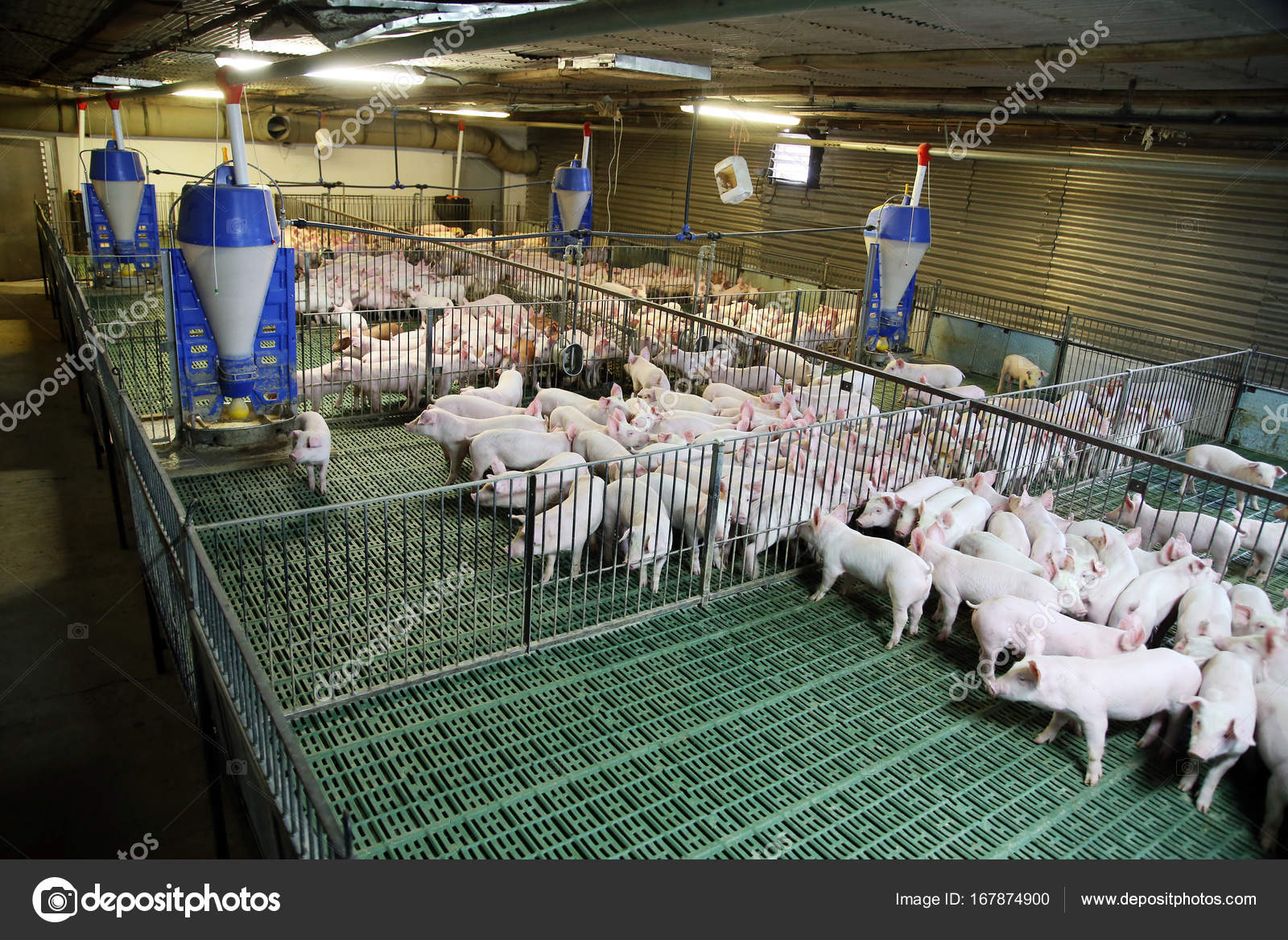 Young Domestic Breed Piglets Growing On Modern Animal Farm Stock Photo