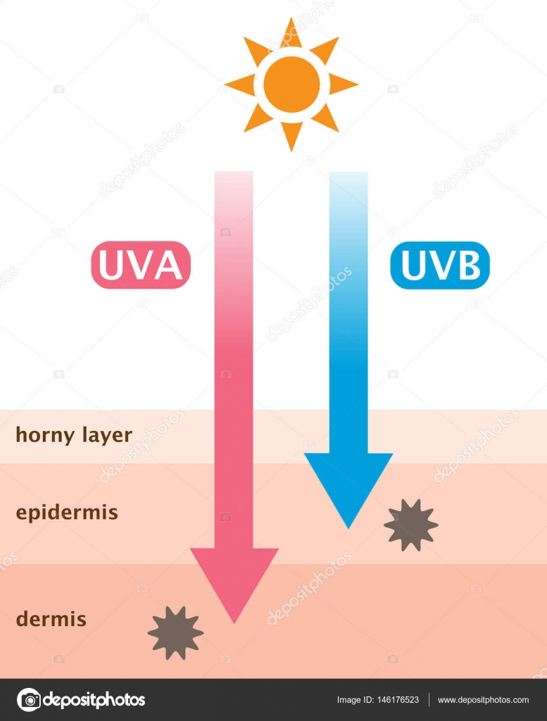 Infographic skin illustration the difference between uva and uvb infographic skin illustration the difference between uva and uvb rays penetration vetores de stock ccuart Images