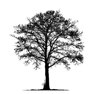 Tree without Leaves Vector Illustration , EPS 10.