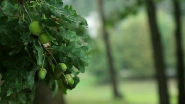 il vento scuote un ramo con giovane ghiande verdi