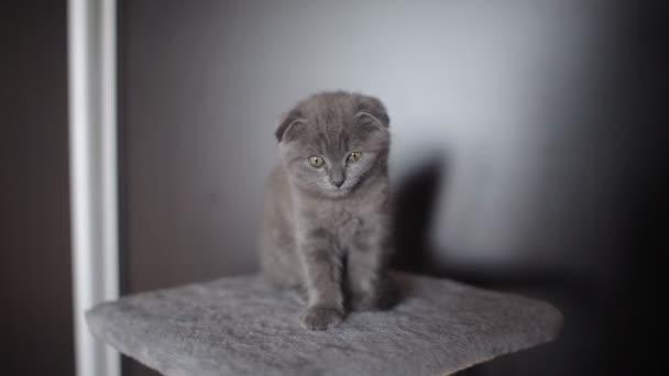 Játékos kíváncsi Skót Karám szürke cica