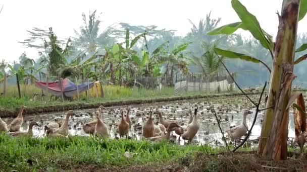Gansos Se Encuentran En La Terraza De Arroz Cerca De Ubud En Bali