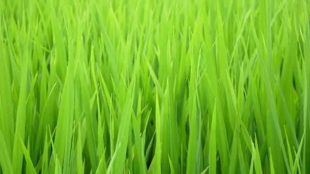 Pšeničné pole. zastřelených rozmazané sněhová vločka s vodou klesne v poli Zelená pšenice