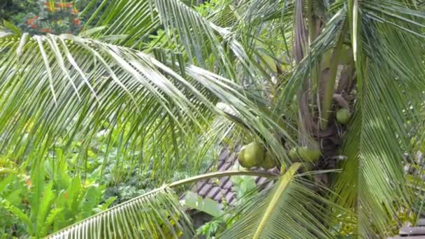 Pohled zblízka žlutý zelený kokos v parta na kokosu palmou s obrovské listy