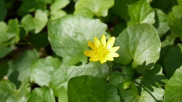 Ranunculus ficaria květina jarní den na louce. Žluté květy.