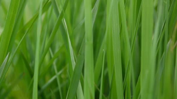 Grünes Gras Makro schönen Hintergrund Frühling auf Wind