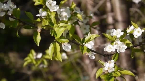 Blossom tree ég cseresznye ág virágzó a szél. Videofelvétel becsukta statikus kamera.