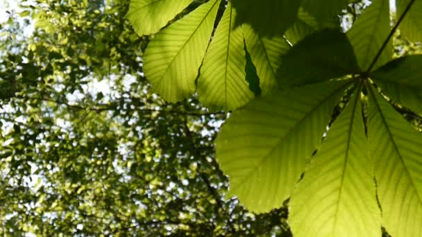 Leafs chestnut tree thoroughly illuminated by the sun. Video footage hd shooting in spring of static camera. Castanea.
