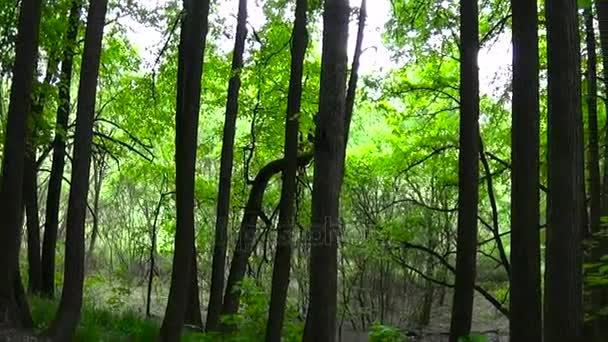 Panorama stromů v lesních Hd natáčení s steadicam záběry