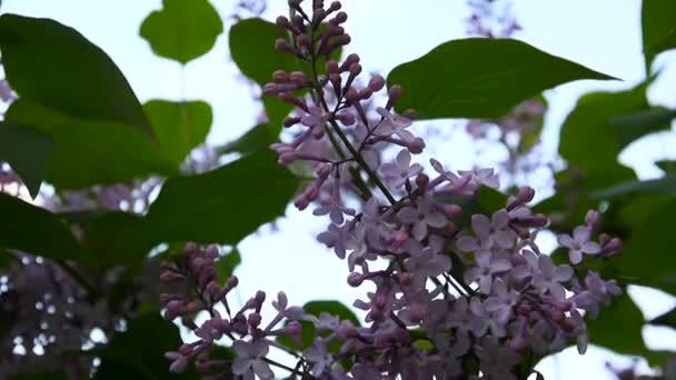 Kvetoucí větve lila fialová. Šeřík obecný. Snímání statických fotoaparát makro. Mírné, ve větru. Kvetoucí větve lila fialová. Šeřík obecný. Makro fotografování statické kamery