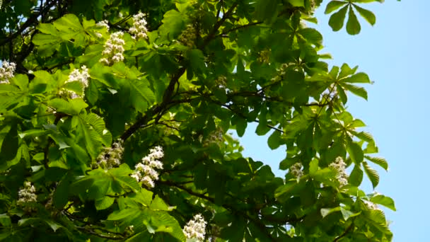 Blossoming chestnut tree in spring. Video is shot with a static camera.