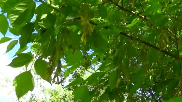 Ясень дерево цветы и фрукты. Ветви дерева fraxinus ...