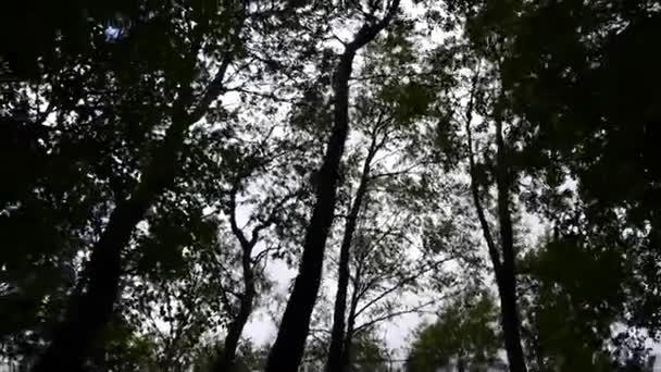 Tetejét a fák az erdő kamera mozgás a kamera. Panoráma a stadicam.
