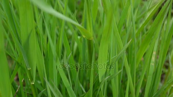 Krásné zelené trávě makro na jaře na větru na pozadí