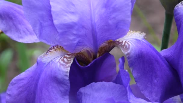 Blue irises closeup moving on the wind. Video footage HD static camera.