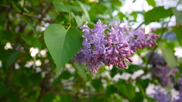 Kvetoucí větve lila fialová. Šeřík obecný. Snímání statických fotoaparát makro. Mírné, ve větru