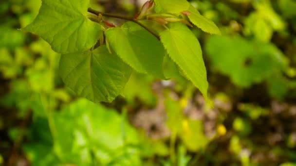 Hojas de color verde, fresco cal Tilo Tilia fondo natural bosque de ...