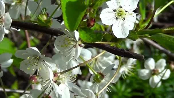 Blossom tree ág cseresznye virágok közelről Hd statikus kamera forgatás.