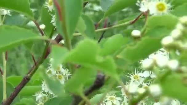 Kvetoucí třešeň ptačí jarní detail, pobočky ve větru. Prunus padus. Video záznam Hd natáčení pohybuje s steadicam