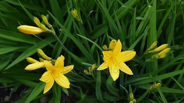 Kvetoucí žluté daylilies v zahradě