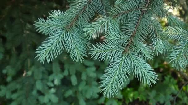 junge grüne Tannenzweige, die sich im leichten Wind bewegen. Nahaufnahme.