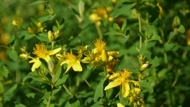 St johns wort medicinal plant with flower in the field stock st johns wort medicinal plant with flower in the field stock video mightylinksfo
