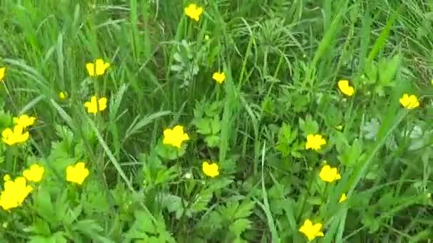 Jasně žluté kvetoucí Jarní květina Pryskyřník baňatý. Natáčení kamery motion kola panorama