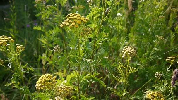 Boutons D Or Amer De Tanacetum Vulgare Arbuste A Fleur Jaune Sur Le
