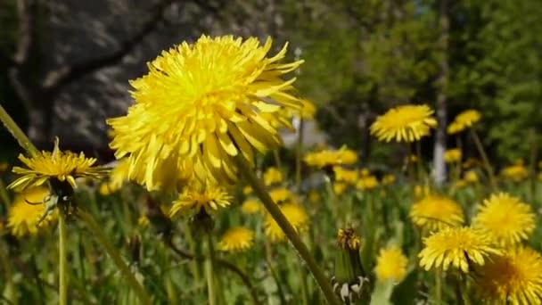 Video closeup rozkvetlé žluté pampelišky v jarní pole.